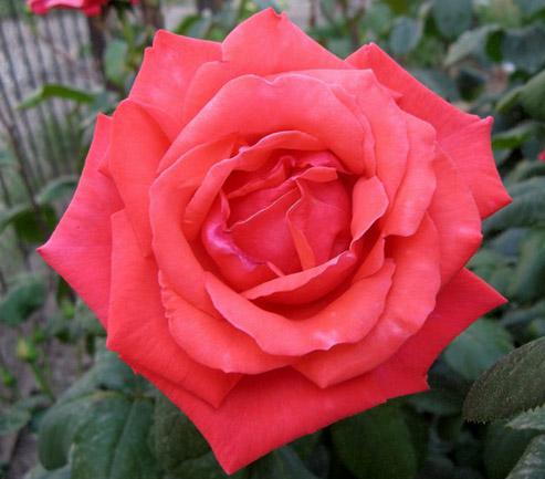 Роза Коралловый Сюрприз