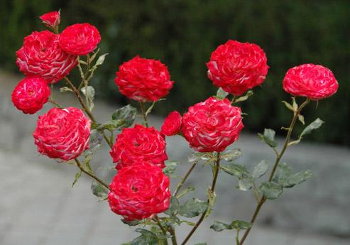 Роза Пламя Востока