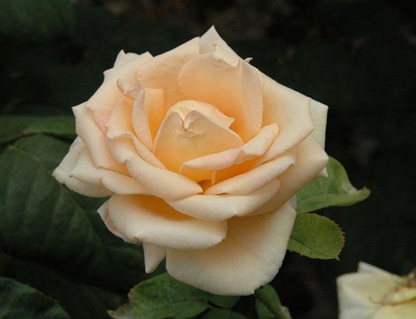 Розы Клименко
