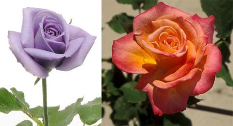 Создаем новые сорта роз
