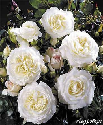 Датские розы Поульсена