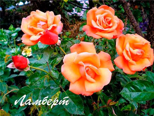 роза ламберт