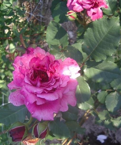 роза Агнесс Шиллер