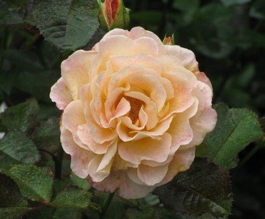 Роза Фиона Глейн