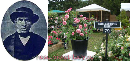 Французские розы династии Гийо