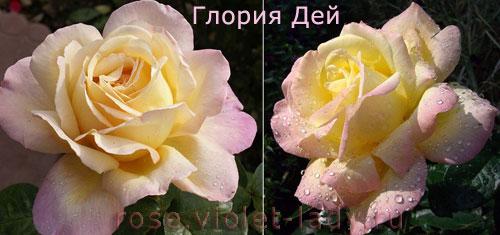 Роза Мира - Глория Дей