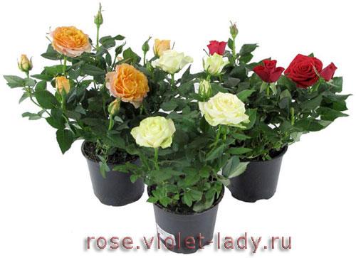 Уход за комнатными розами зимой