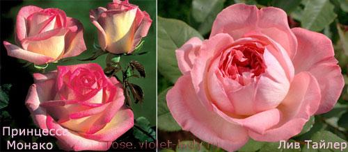 Розы Лив Тейлор и Принцесса Монако