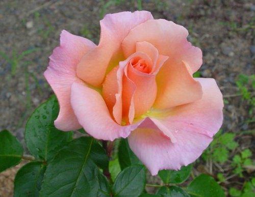 Законы о розах