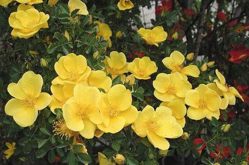 Желтая ранняя роза Bicolor