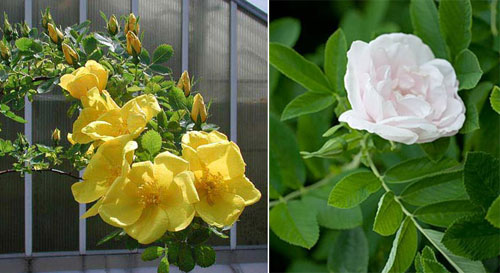 Ранние парковые розы