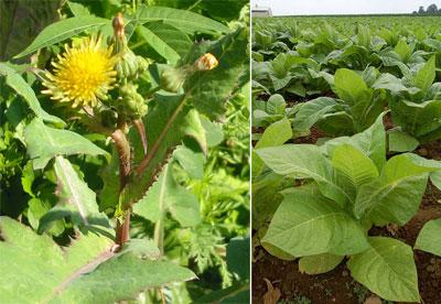 Растительные препараты в борьбе с вредителями и болезнями роз