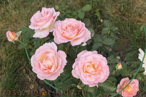 Роза Элль