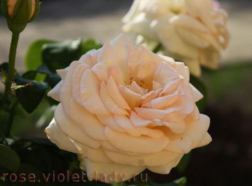 Роза Принц Жардиньер