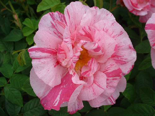 Английские розы York and Lancaster