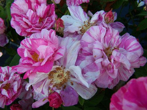 розы York and Lancaster