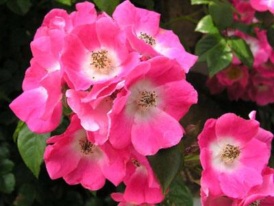 Старинная плетистая роза American pillar