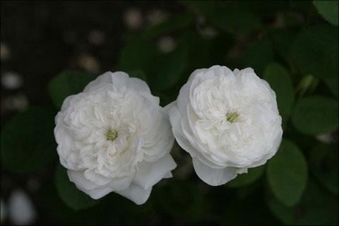 Белая дамасская роза Мадам Харди