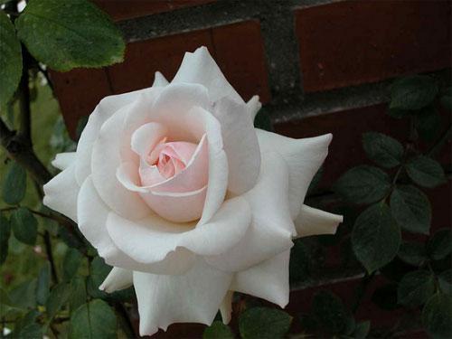 """Белая плетистая роза Swan lake - """"Лебединое озеро"""""""