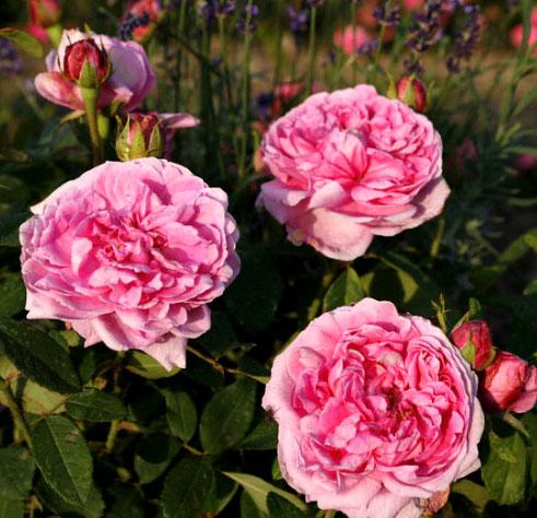 Роза Madame Boll