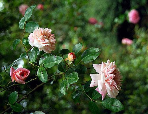 Роза - символ страсти и молчания