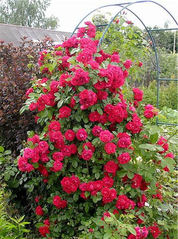 """""""Danse du Feu"""", или """"Танец огня"""" - одна из лучших красных плетистых роз"""