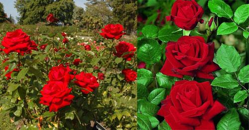 роза Ingrid Bergman