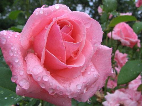 Размножение роз прививкой
