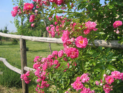 Плетистая роза Дороти Перкинс