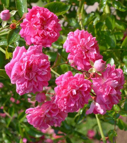 Плетистая роза Dorothy Perkins