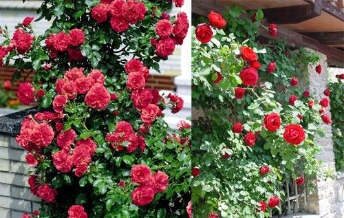 роза Симпати