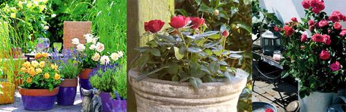Карликовые розы в кадках