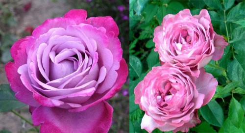 Роза голубая чайно-гибридная