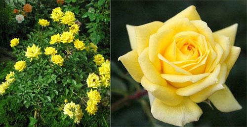 роза Sonnenkind