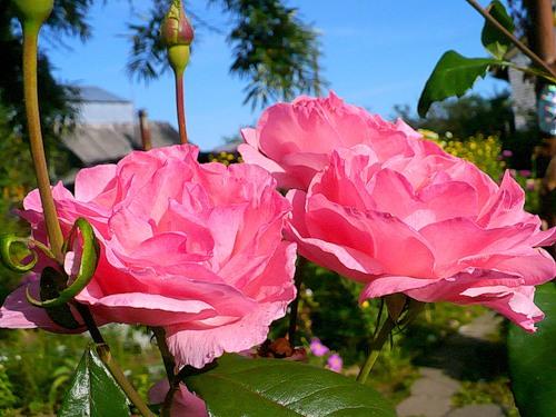 роза Queen Elizabeth