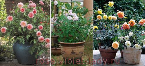 Сорта роз для балконов и террас