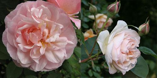 роза Perdita