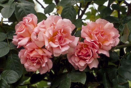 роза Compassion