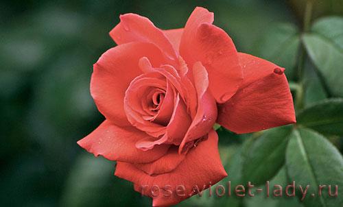 Мои первые розы в саду