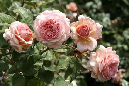 Как привить розу?