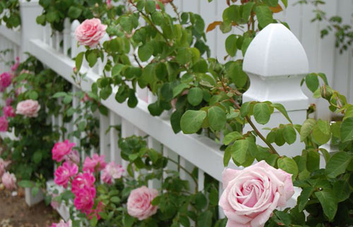Как вносить удобрения для роз