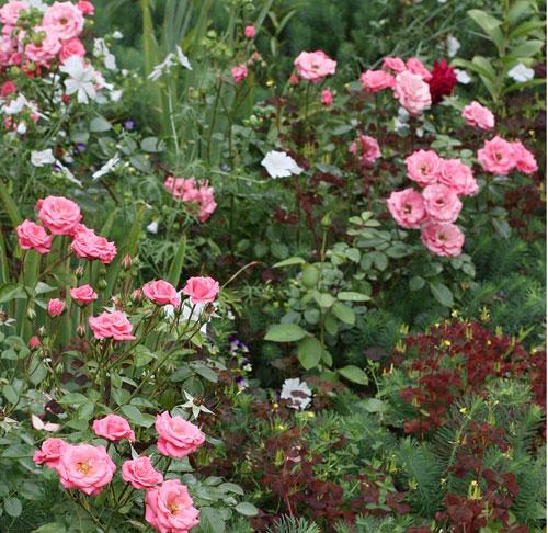 роза Bella Rosa