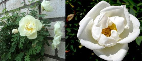 роза бедренцеволистная