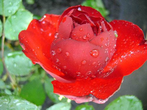 Роза Lilli Marlene