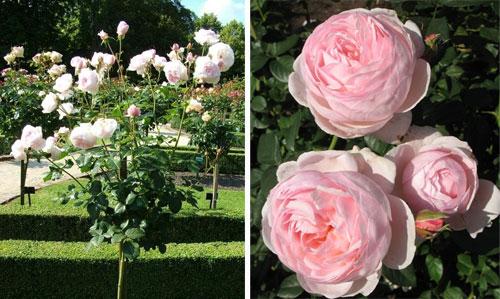 Роза Heritage