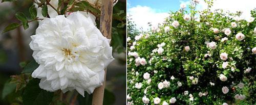 Роза Alberic Barbier
