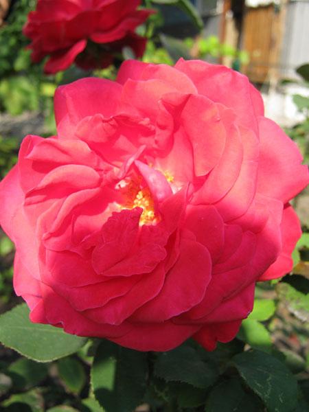 Как ухаживать за чайно-гибридными розами