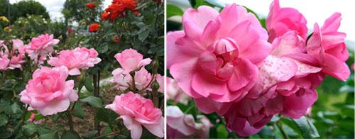 Роза Centenaire de Lourdes