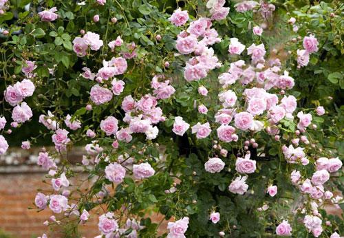 Роза New Dawn