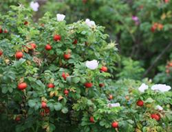 Живая изгородь: ругоза в цвету